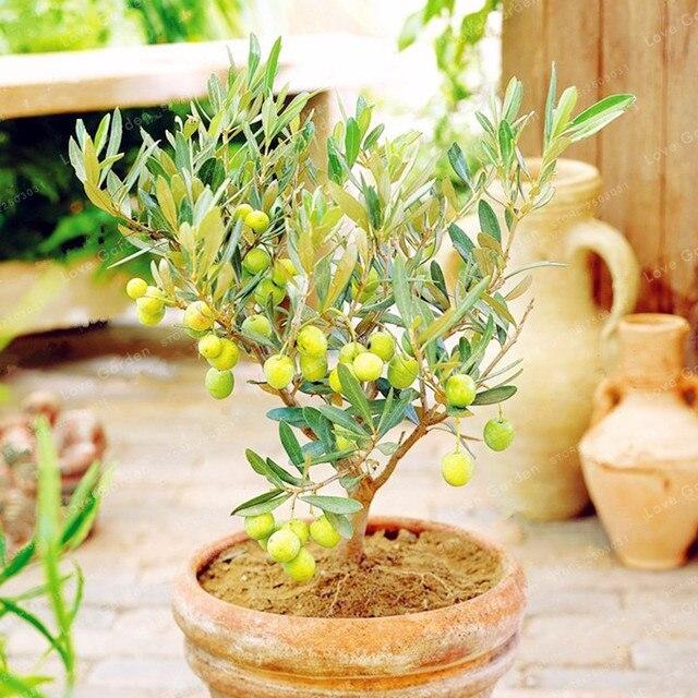 10 piezas de árbol bonsái de oliva raro (Olea Europaea) planta bonsái planta de árbol exótico fresco Mini olivo bonsái suministros de jardín