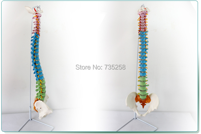 Human Spine With Pelvic Model,Color With Pelvic Spine Model