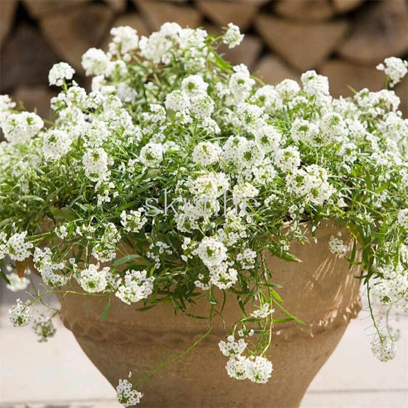หวาน snowball bonsai ระเบียงปลูกประดับดอกไม้หยกผีเสื้อสวนมัสตาร์ด 100 ชิ้น (xiang xue qiu)