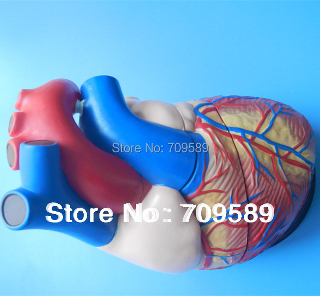 ISO New Type Jumbo Human Heart Model, Anatomical Heart model human anatomical male genital urinary pelvic system dissect medical organ model school hospital