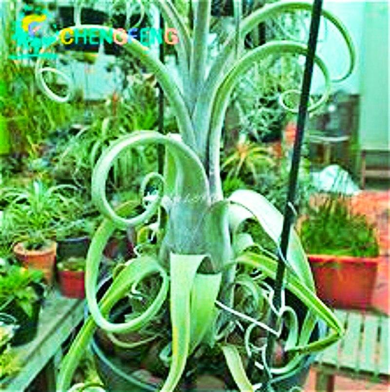 Hot Sale 100pcs Tillandsia Seeds Succulent Pineapple Mini Air Purifier Rare Bonsai Decoration For Home Garden Free Shipping