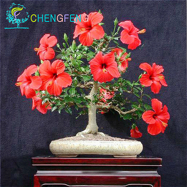 50 Hibiscus Seeds Plant Tree Bonsai Perennial Flower Huge 10 12