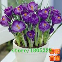 Крокус семена комнатных растений цветок балкон растений 50 семена бонсай семена цветов для дома сад бесплатная доставка