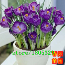 crocus seed potted plants flower balcony plants 50 seeds bonsai seeds for home garden free shipping