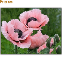 Pink Oriental Poppies 5D square mosaic diamond painting full rhinestones diy crafts diamond embroidery handcraft bead embroidery pink chrysanthemum handcraft bead embroidery diamond painting full rhinestones diy crafts 5d square mosaic diamond embroidery