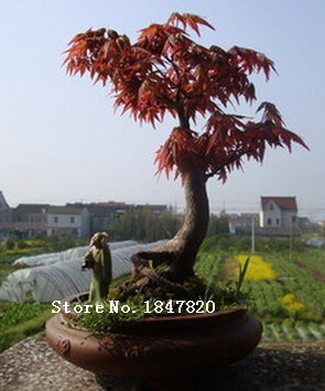 AAA Bonsai maple Seeds 50pcs 10kinds mix tree Seeds Novel Plant for Garden Free Shipping