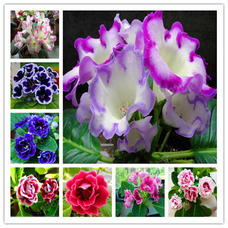 100 pcs Imported Gloxinia Plant Bonsai Perennial Sinningia Gloxinia Flower plants for Home Garden Pot Easy to Grow(da yan tong)