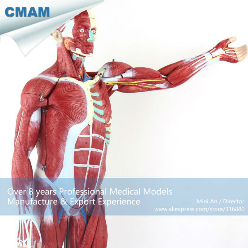 CMAM-MUSCLE01 Numbered 78cm High Anatomical Human Muscular Figure Model, 27-parts, 1/2 Life Size plastic standing human skeleton life size for horror hunted house halloween decoration