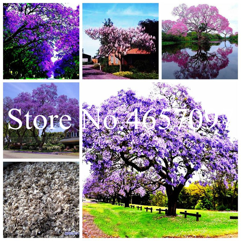 200 Pcs/bag Bonsai Paulownia Flower, Royal Empress Tree (Paulownia Tomentosa), Ourdoor Plants Flower Home Garden Pot Plants