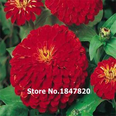 New Rare ZINNIA CHERRY QUEEN Zinnia Elegans – 100 Flower Seeds Free Shipping