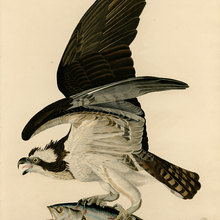 Lienzo de animal impreso pájaro mundo cartel gigante lienzo pintura hogar arte pastoral Estilo vintage pescado halcón por Audubon