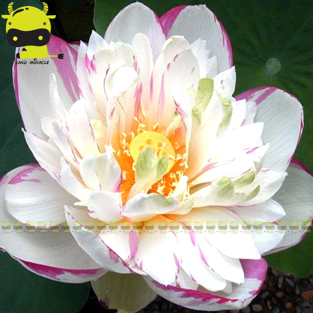 Purple Edge White Lotus Flower Seed 1 Seedpack New Hybrid