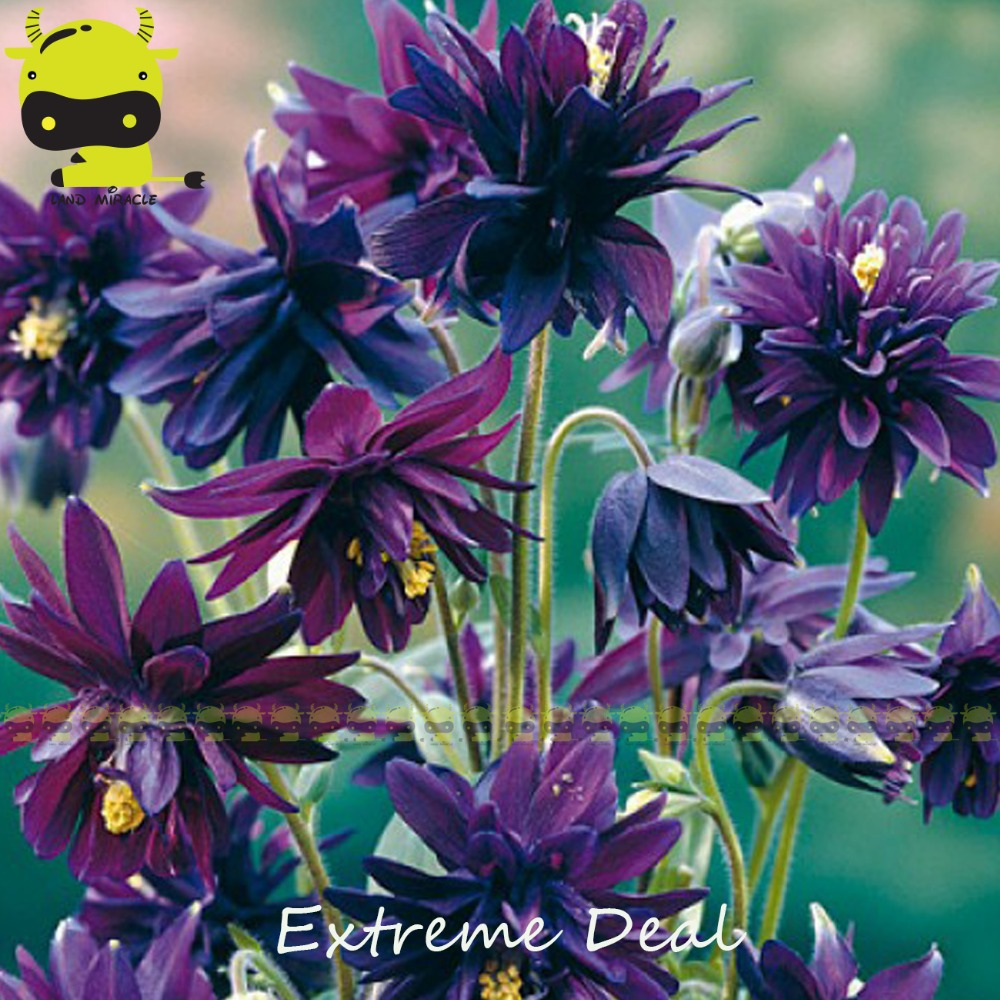 Compare prices on columbine flower seeds online shoppingbuy low clementine variety purple columbine flower seeds 50 seedspack rare aquilegia bonsai ornamental dhlflorist Gallery