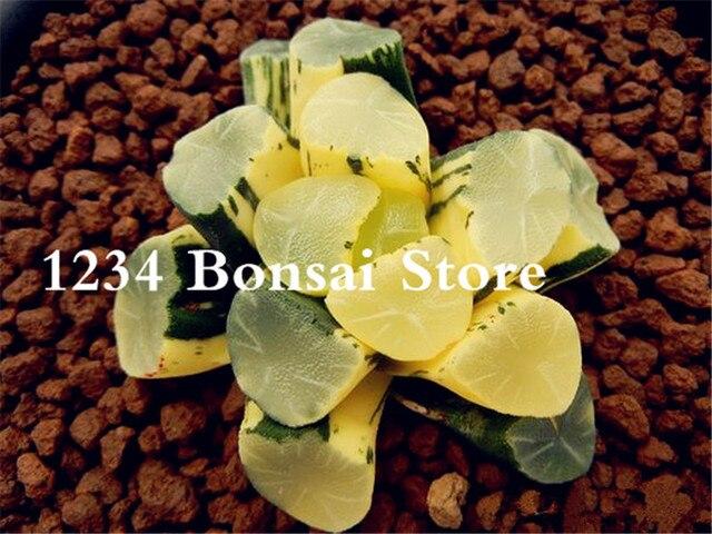 100 pz Reale Succulente pianta Perenne Angiosperm di Piante da Fiore, Pseudotruncatella Living Pietra Lithops Bonsai pianta facile da Coltivare