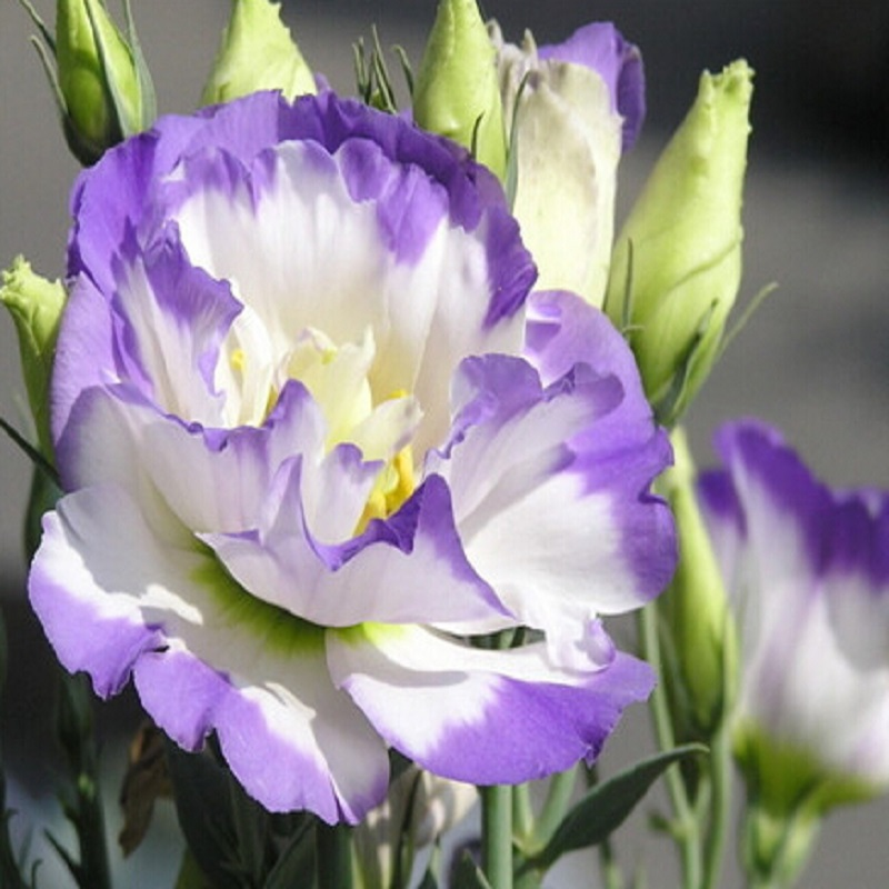 Hot Sale  Rare eustoma seeds Flower 100 Seeds  Bonsai Seeds for Home & Garden