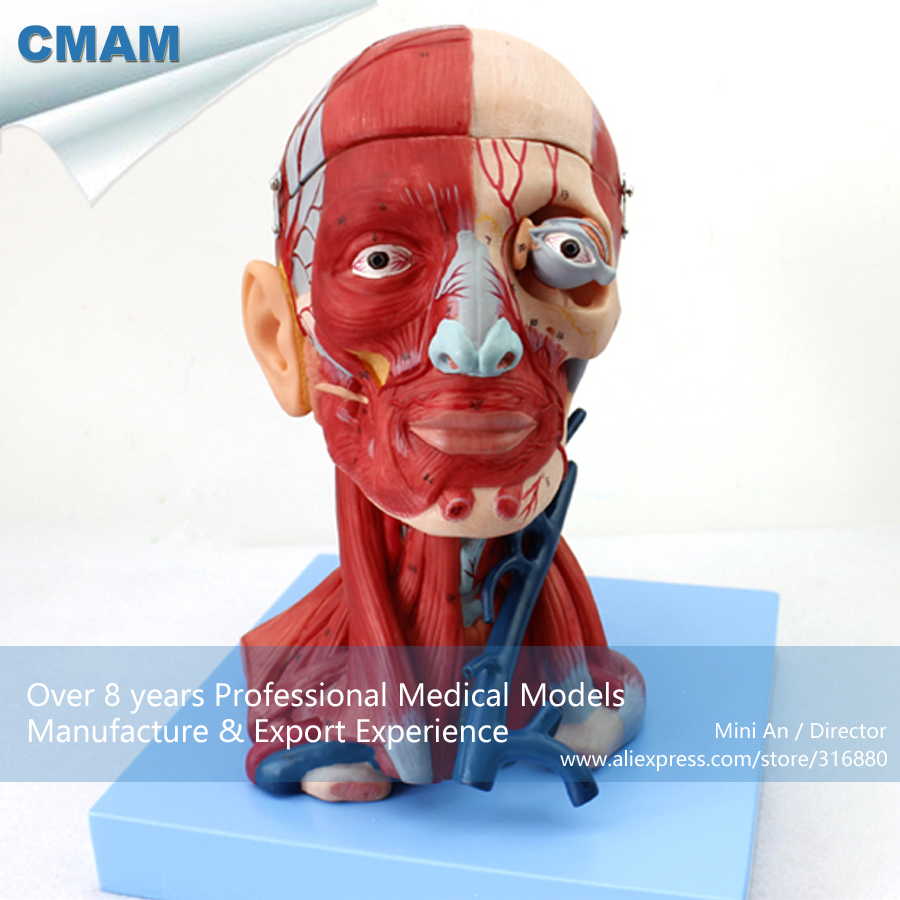 12309 CMAM-MUSCLE15 Human Head with Muscles Anatomy Model , Medical Science Educational Teaching Anatomical Models cmam a29 clinical anatomy model of cat medical science educational teaching anatomical models