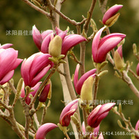 authentic magnolia tree plant Mulan 200g / Pack