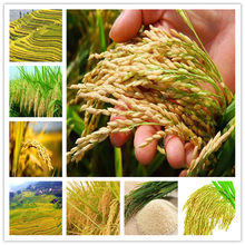 100 PCS Exotic Golden Rice Plant Non-GMO Heirloom High Disease Resistancehigh Yield Crop Outdoor Planta Paddy For Home Garden(China)
