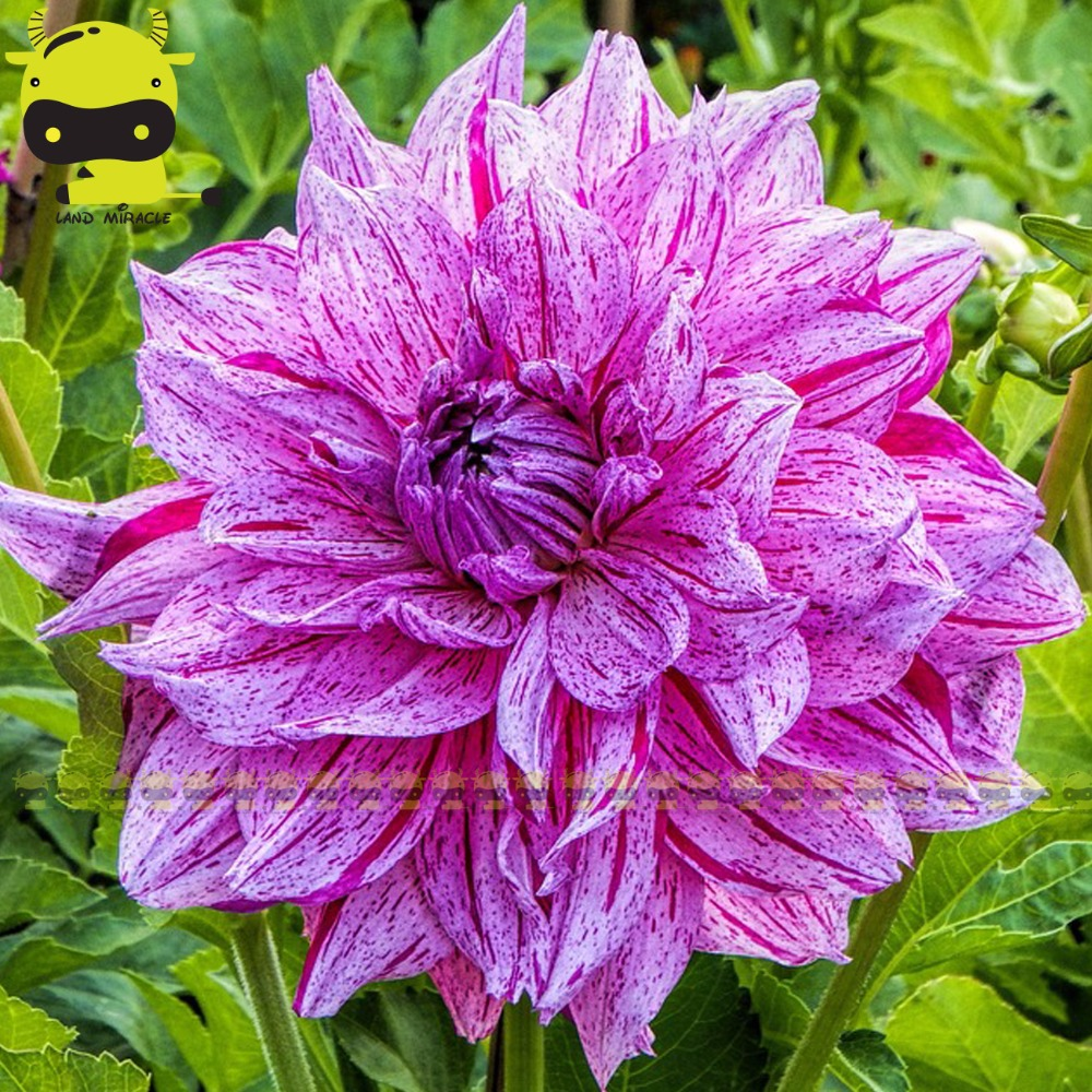 20pcspack potted purple dahlia flower gorgeous flower seeds 20pcspack potted purple dahlia flower gorgeous flower seeds perennial plant s izmirmasajfo