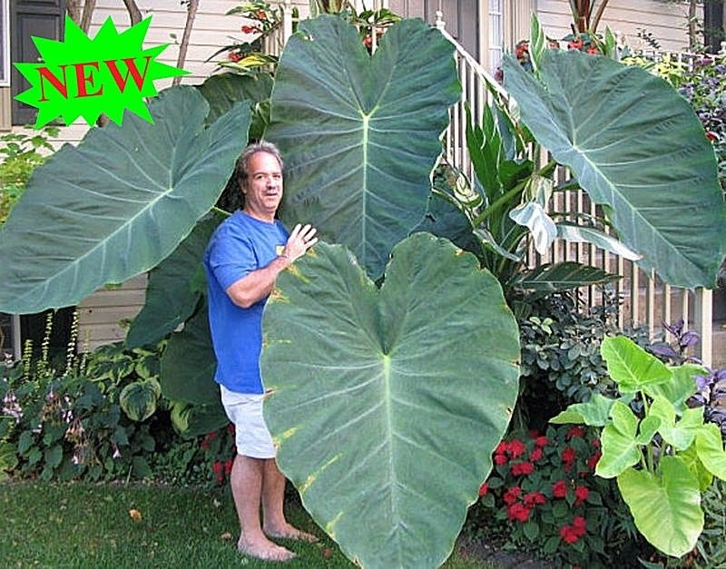 100pcs giant elephant ear plant fresh colocasia gigantea huge foliage seeds ebay. Black Bedroom Furniture Sets. Home Design Ideas