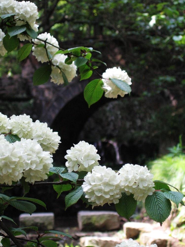 unidsbolsa hortensias blancas semillas de flores color