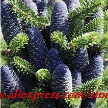 20seeds/bag Korean Fir,Abies koreana seed flower bonsai plant DIY home garden free shipping
