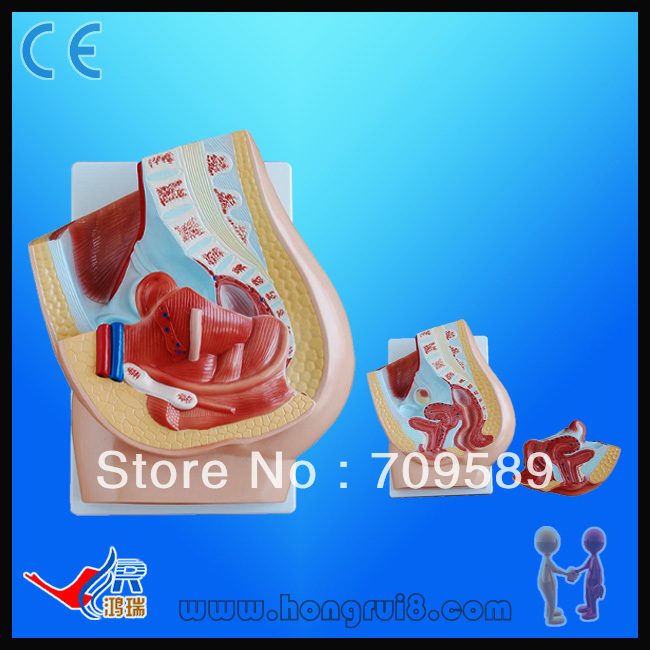 2-Part Classic anatomical model,Female Pelvis 3 1 human anatomical kidney structure dissection organ medical teach model school hospital hi q