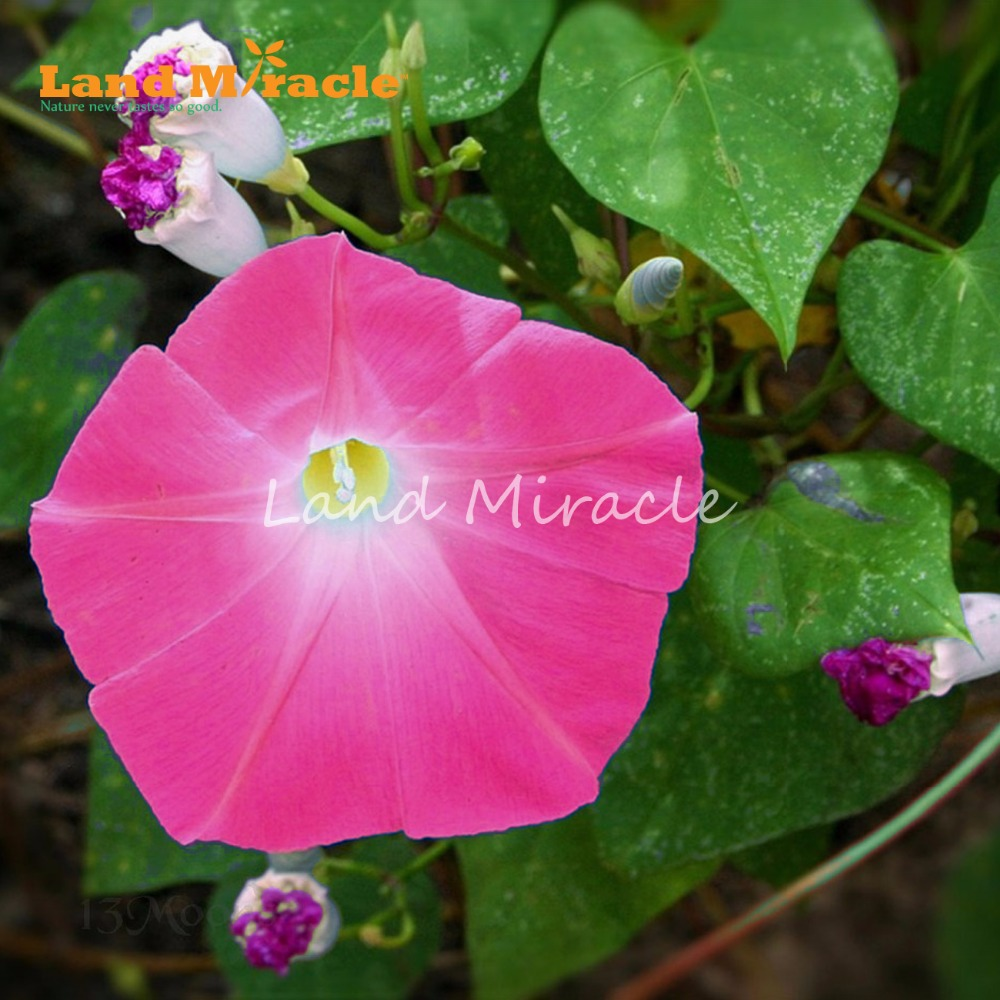 20pcs Heirloom Pink Red Morning Glory Not Petunia Fragrant Garden