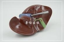 DongYun brand 1:1 human liver model anatomical model Medical Science teaching supplies