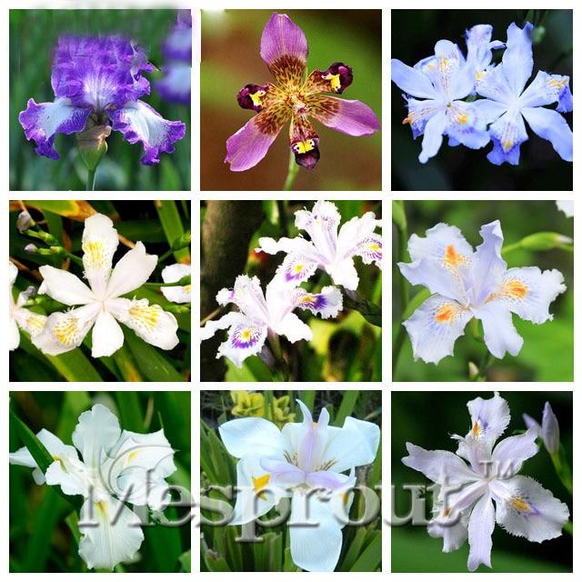 20PCS Rare Unique 15 Colors Can Be Choose Beautiful Iris Orchid Bonsai Potted Plants Perennial Iris Flowers Bonsai