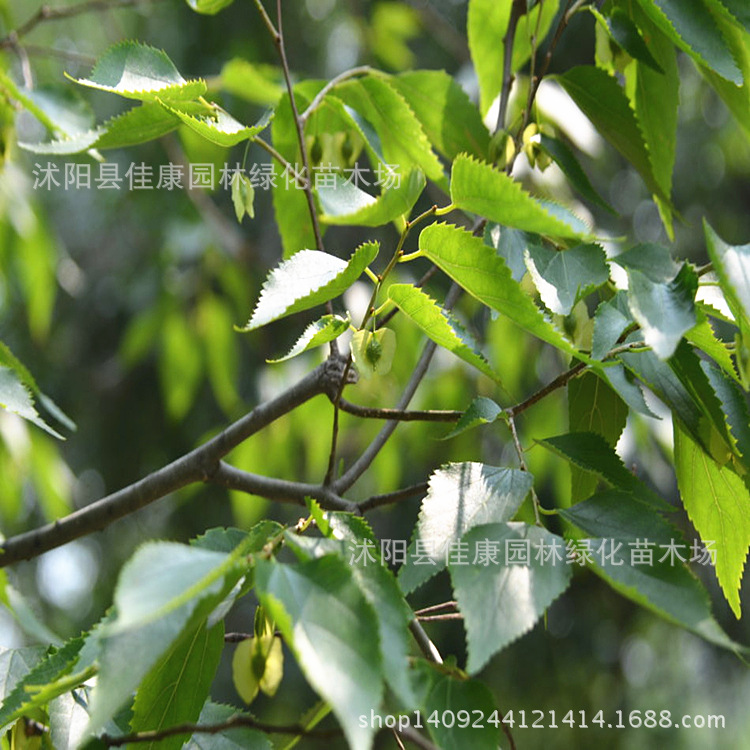 Authentique Pteroceltis arbre bonsaï argent arbre aile parc emplacements réels bois de santal 200 g/paquet