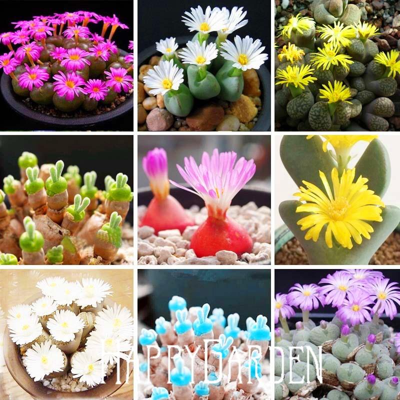 200 Rare Mix Lithops Seeds Living Stones Succulent Cactus Organic Garden  Bulk Seed,#CVE4ZK