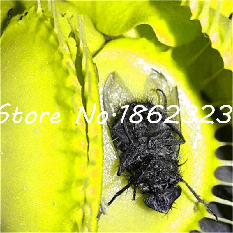מכירה! 100 pcs Flytrap פלורס בונסאי עציצי Dionaea Muscipula צמח plantas מרפסת גן צמח טורף ונוס לטוס מלכודת פלנט