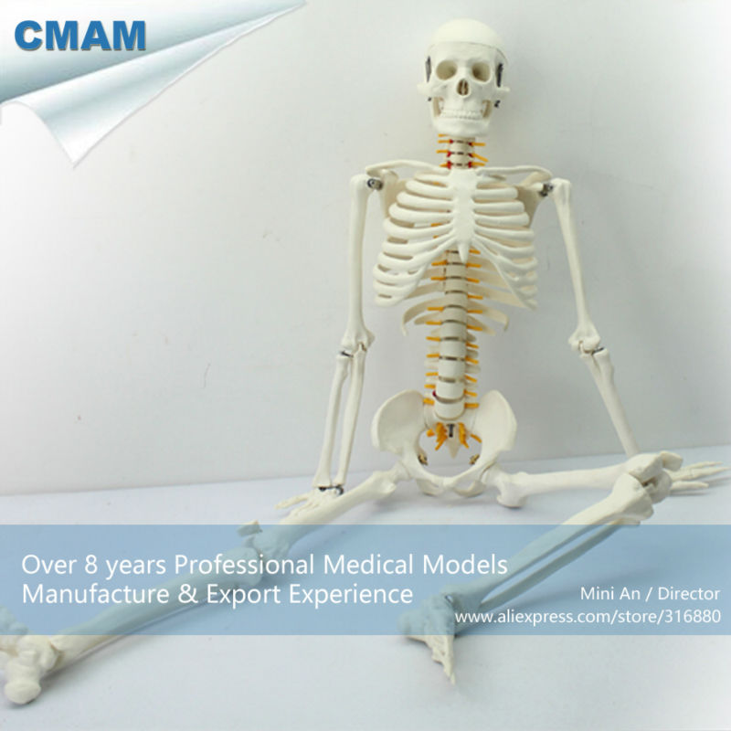 12365 Cmam Skeleton05 Middle Skeleton Anatomy Model With Spinal