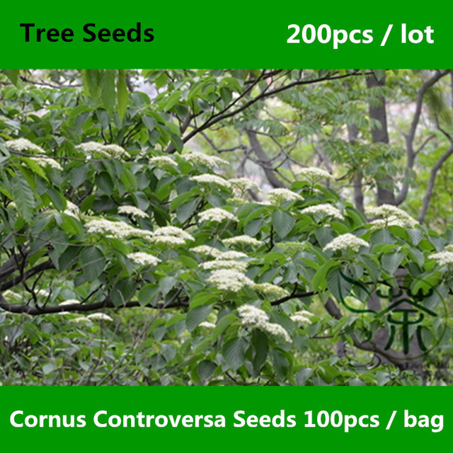 Ornamental Beautiful Cornus Controversa Seeds 200pcs Bothrocaryum Wedding Cake Tree Family Cornaceae Deng