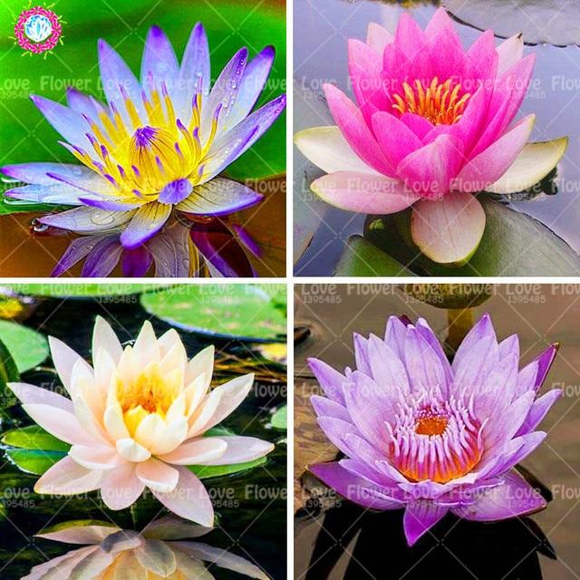 Lotus flower lotus plant aquatic plants bowl lotus water lily plant lotus flower lotus plant aquatic plants bowl lotus water lily plant perennial outdoor plant for home mightylinksfo