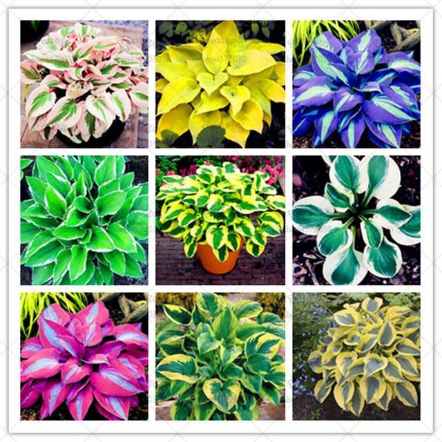بونساي 200 قطع مختلطة الملونة Hosta جميلة زهرة بونساي الأبيض الدانتيل بوعاء أوراق الشجر النباتات للمنزل لوازم حديقة