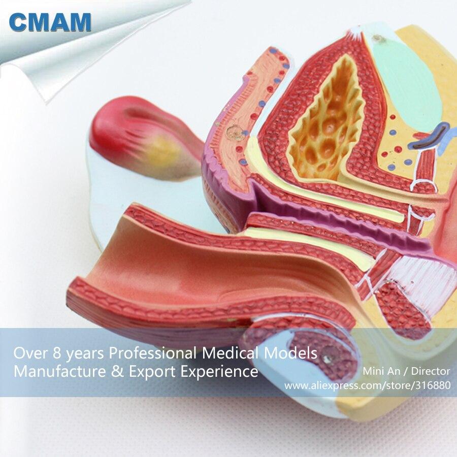 12446 CMAM ANATOMY08 Female Genital Organ 4 Parts Anatomy Model ...