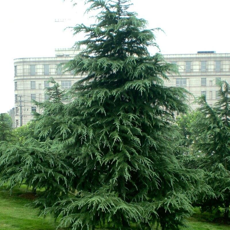 60 unids cedro evergreen bosque semillas woody perenne for Planta perenne en maceta de invierno