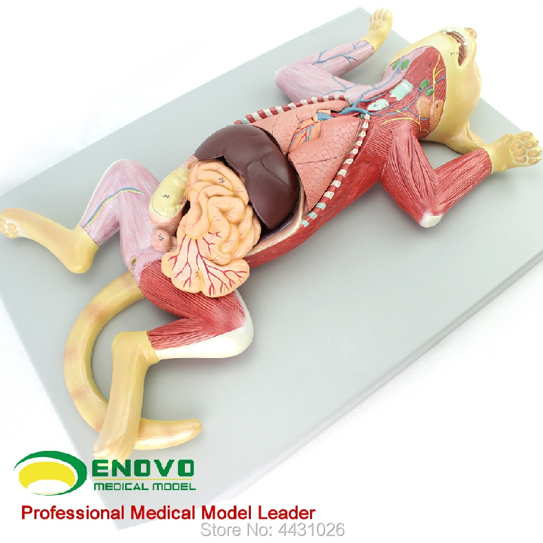 ENOVO Cat anatomy model pet organ visceral muscle neuroveterinary animal husbandry teaching animal map h