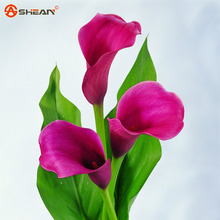 Flame Calla Seeds Balcony Potted Bonsai Plant Seeds Aethiopica Flower Calla Lily Seeds 100 Particles / lot