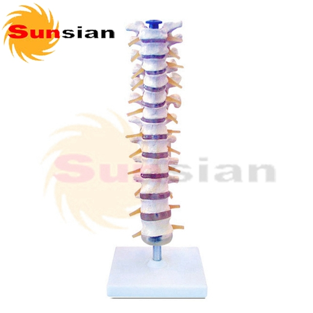 Thoracic vertebral column ,human skeleton anatomical model-in ...