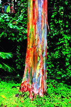 200/BAG rare Rainbow Eucalyptus deglupta, showy tropical tree, tree seeds for garden planting baby and lover like
