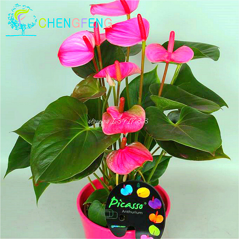 120pcs Japanese Pink Green Anthurium Seeds For Indoor