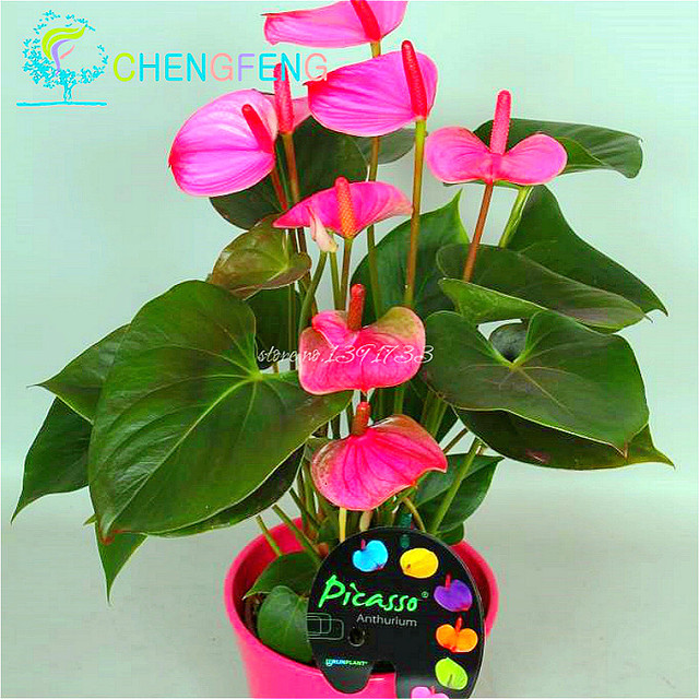 120pcs Anese Pink Green Anthurium Seeds For Indoor Plants Rare Flower Balcony Potted Bonsai Diy Home Garden Purify