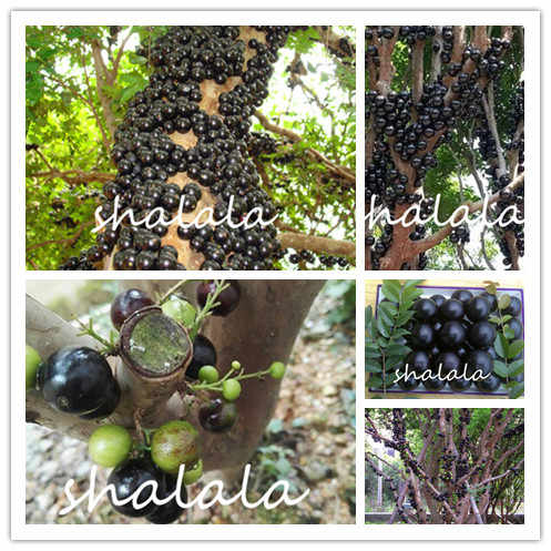 1000 Pcs Set Anggur Jaboticaba Ungu Jari Segar Yang Ungu Golden Jari Non GMO Hitam Tumbuhan Alami