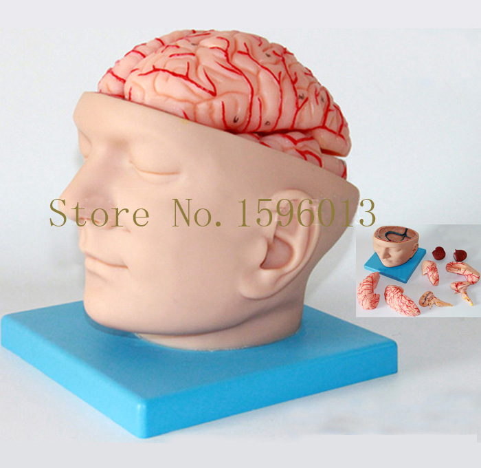 лучшая цена HOT Head with Brain And Brain Artery Model, Head Anatomical Model,Brain with Artery Model