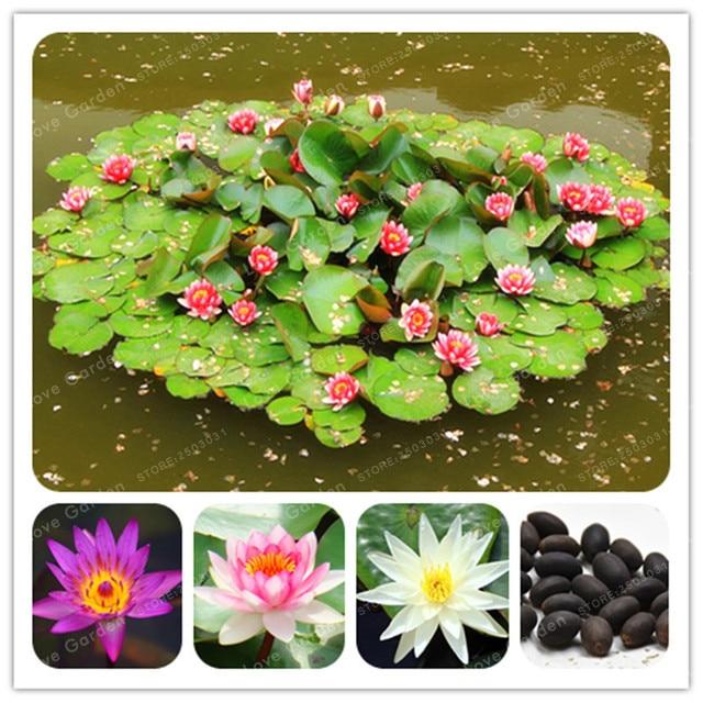 5 Pcs Nymphaea Bonsai Lotus Bonsai Nymphaea Caerulea Asian Water