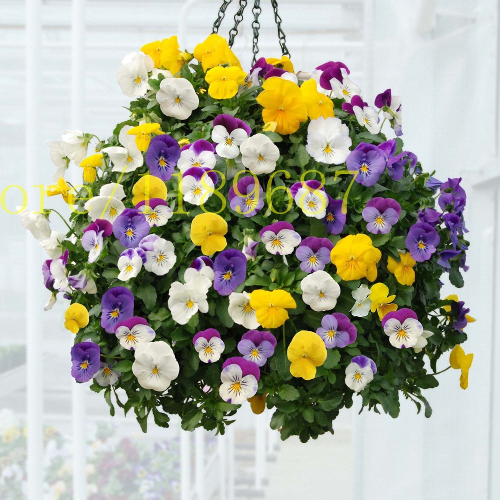 Online buy wholesale panies flowers from china panies flowers 200 pcs pany seeds multicolored flower viola tricolor brilliant colors cold resistant ornamental plant dhlflorist Gallery