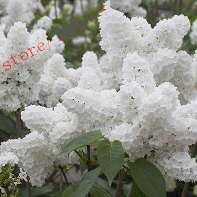 100 pz Bianco Giapponese Lilla bonsai Estremamente Fragrante chiodi di garofano